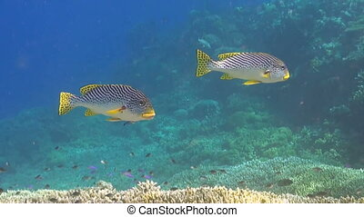 Diagonal banded sweetlips on a coral reef in Philippines