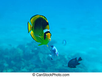 Diagonal Butterflyfish of the Red Sea coral reef