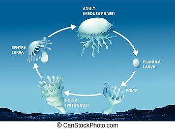 diagram, życie, meduza, pokaz, cykl