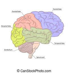 diagram., γραφικός , όργανο , κομμάτια , ανατομία , εγκέφαλοs , μικροβιοφορέας , ανθρώπινος , αντίκρυσμα του θηράματοσ. , πλευρά , design.