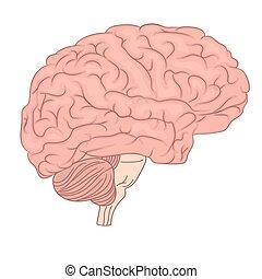 diagram., όργανο , γραφικός , ανατομία , εγκέφαλοs , μικροβιοφορέας , ανθρώπινος , αντίκρυσμα του θηράματοσ. , πλευρά , design.