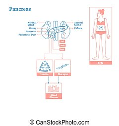 diagram., 内分泌, 科学, 医学, -, イラスト, system., ベクトル, 腺, 膵臓