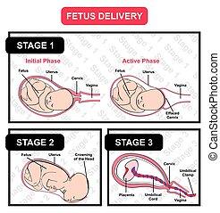 diagram, aflevering, alles, stadia, foetus