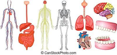 diagram, anatomi, mänsklig