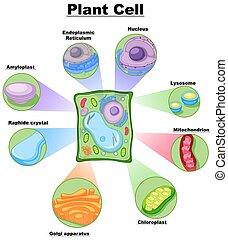 diagram, cell, visande, växt