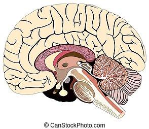 diagram, hersenen, gedeelte, menselijk, median