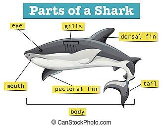 diagram, het tonen, onderdelen, haai