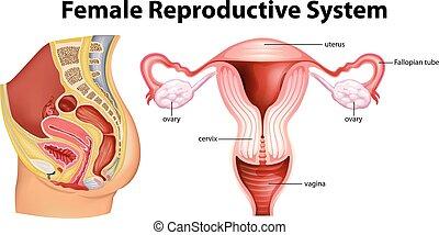 diagram, het tonen, vrouwelijk reproductief systeem
