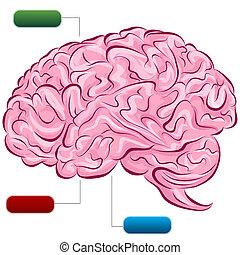 diagram, hjärna, mänsklig