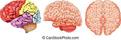 diagram, hjärna, olik, mänsklig
