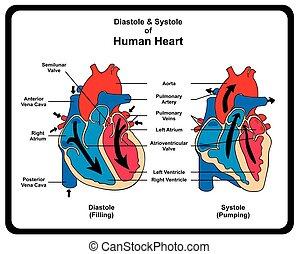 diagram, hjärta, diastole, systole, mänsklig