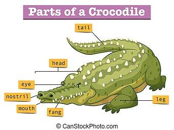 diagram, krokodyl, pokaz, strony