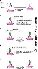 Diagram of Complement Pathway