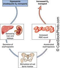 Diagram of hypoxemia