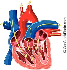 Diagram of inside of heart illustration