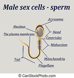 Diagram of the male sex cells - sperm.