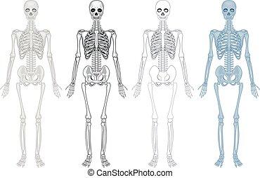 diagram, olik, skelett, mänsklig