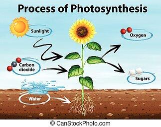 diagram, pokaz, proces, od, fotosynteza