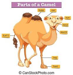 diagram, pokaz, strony, wielbłąd
