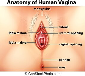Diagram showing anatomy of human vagina illustration