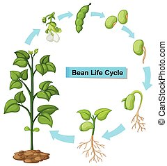 Fern Life Cycle Diagram | Diagram Showing Fern Life Cycle Illustration
