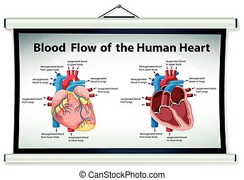 Diagram showing blood flow in human heart