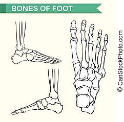 Diagram showing bones of foot