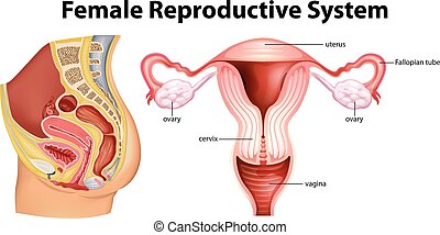 Diagram showing female reproductive system