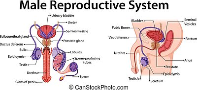 Male ill reproductive system. vector illustration.