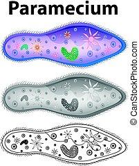 Diagram showing paramecium in three designs