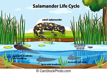 Diagram showing salamander life cycle