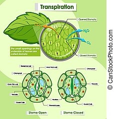 Diagram showing transpiration of plants illustration