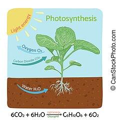 diagram., vector, fotosíntesis, illustration., esquemático