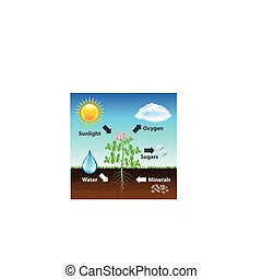 diagram, vector, photosynthesis, achtergrond