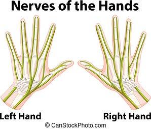 diagram, zenuwbaan, het tonen, handen