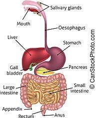 diagrama, anatômico, digestivo, área