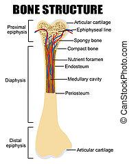 diagrama, anatomía, hueso humano