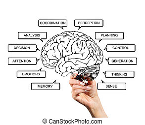 diagrama, cérebro, funções