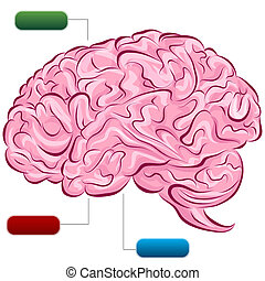 diagrama, cérebro, human