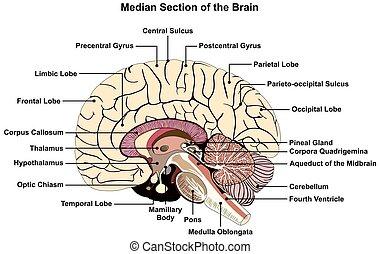 diagrama, cérebro, seção, human, mediano