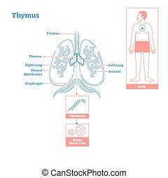 diagrama, ciência, glândula, ilustração, endocrine, thymus, system., vetorial, médico