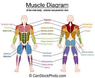 diagrama, cuerpo, músculo, macho, nombres