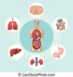 diagrama, diferente, órgãos, mostrando, human
