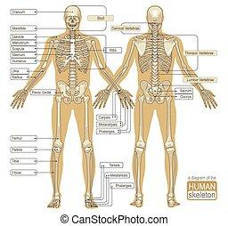 diagrama, esqueleto, human