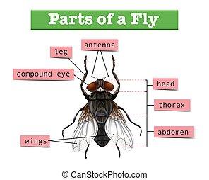 diagrama, mosca, mostrando, partes