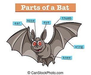 diagrama, mostrando, partes, morcego