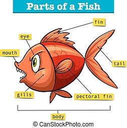 diagrama, mostrando, partes, peixe