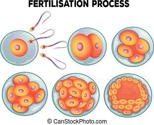 diagrama, processo, fertilisation
