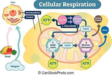 diagrama, respiração, processo, ilustração médica, vetorial, celular, scheme.