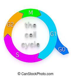 diagramm, von, der, zelle, zyklus
